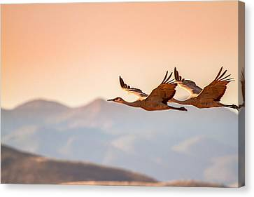 Sandhill Cranes Flying Over New Mexico Mountains - Bosque Del Apache, New Mexico Canvas Print by Ellie Teramoto