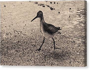 Sandpiper Along The Golf Coast  Canvas Print by Tim Husted