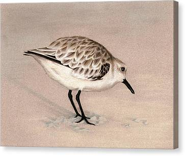 Sandpiper On Sand Canvas Print by Heather Mitchell