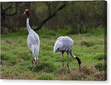 Sarus Crane - Pair For Life Canvas Print by Ramabhadran Thirupattur