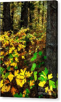 Sassafras Forest II Canvas Print by Dan Carmichael