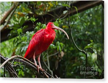 Scarlet Ibis Canvas Print by B.G. Thomson