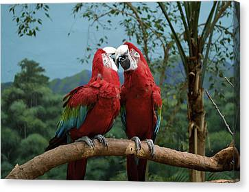 Scarlet Macaws Kissing Canvas Print by Thomas Woolworth