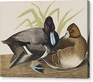 Scaup Duck Canvas Print by John James Audubon