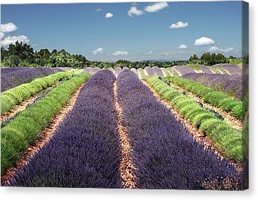 Scent Of Lavender Of Provence Canvas Print by Any.colour.you.like Photography