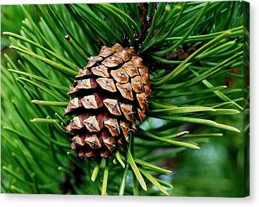 Scotch Pine Cone Canvas Print by Marilynne Bull