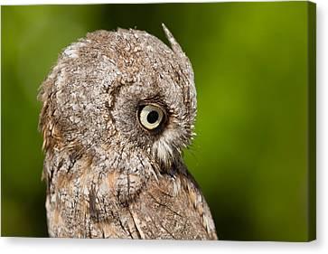 Screech Owl Portrait Canvas Print by Roeselien Raimond