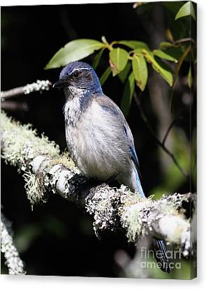 Scrub Jay . 7d6663 Canvas Print by Wingsdomain Art and Photography