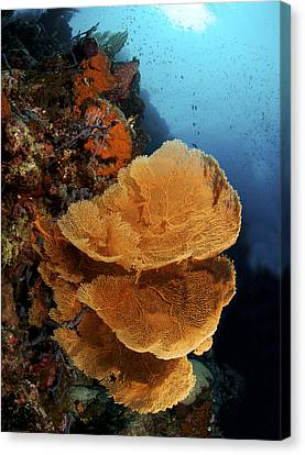 Sea Fan Coral - Indonesia Canvas Print by Steve Rosenberg - Printscapes