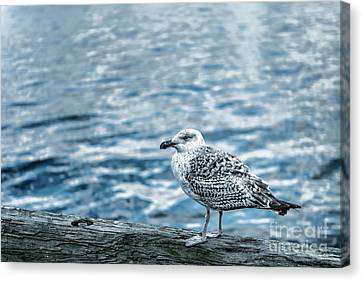 Sea Gull Canvas Print by Tamyra Ayles
