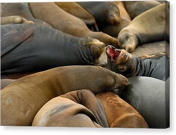 Sea Lions At Pier 39 San Francisco Canvas Print by Sebastian Musial