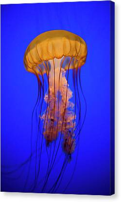 Sea Nettle Jellyfish (chrysaora Quinquecirrha) In An Aquarium Canvas Print by Patrick Strattner