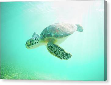 Sea Turtle Baby Canvas Print by Monica and Michael Sweet