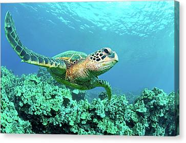 Sea Turtle In Coral, Hawaii Canvas Print by M Sweet