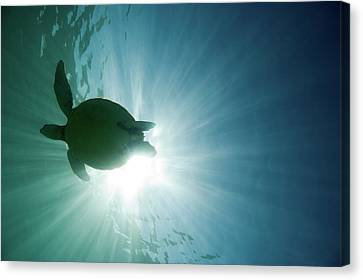 Sea Turtle Canvas Print by M.M. Sweet