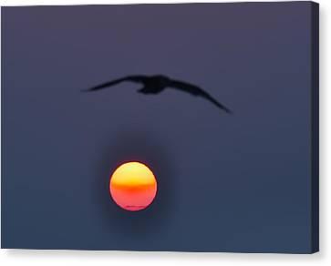 Seagull Sun Canvas Print by Bill Cannon