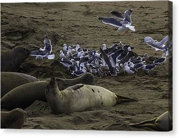 Seagulls And Elephant Seals Canvas Print by Garry Gay