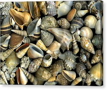Seashell Medley Canvas Print by Christian Slanec