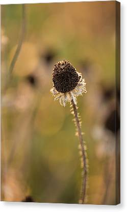 Seed Head Canvas Print by Andrea Kappler