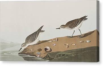 Semipalmated Sandpiper Canvas Print by John James Audubon