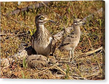 Senegal Thick-knee Canvas Print by Eric Woods/FLPA