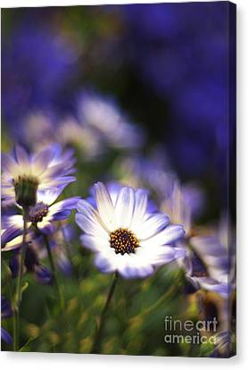 Senetti Dreams Canvas Print by Dorothy Lee
