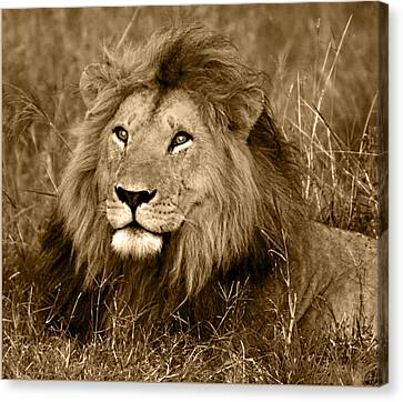 Sepia Lion Canvas Print by Nancy D Hall