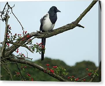September Magpie Canvas Print by Philip Openshaw