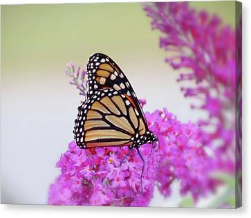September Monarch - Butterfly Canvas Print by MTBobbins Photography