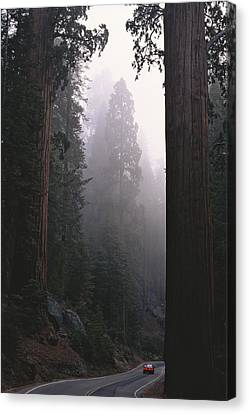Sequoia Trees Dwarf A Car Traveling Canvas Print by Carsten Peter