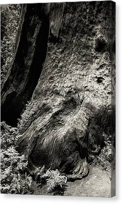 Sequoia With Ferns Canvas Print by Joseph Smith