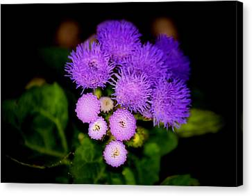 Shades Of Purple Canvas Print by Karen M Scovill
