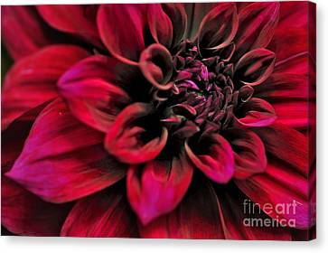 Shades Of Red - Dahlia Canvas Print by Kaye Menner