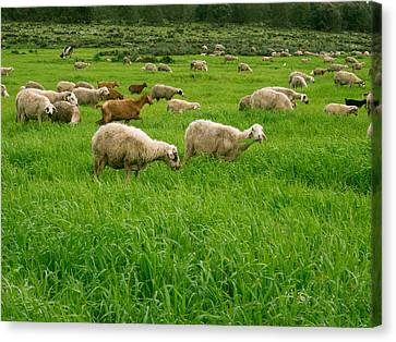 Sheep In Field, Moulay Yacoub Province Canvas Print by Panoramic Images