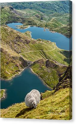 Sheep Of Snowdonia Canvas Print by Adrian Evans