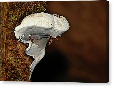 Shelf Fungus On Bark - Quinault Temperate Rain Forest - Olympic Peninsula Wa Canvas Print by Christine Till