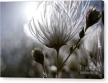 Shimmering Flower I Canvas Print by Ray Laskowitz - Printscapes