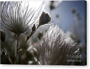 Shimmering Flower II Canvas Print by Ray Laskowitz - Printscapes