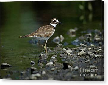 Killdeer  Canvas Print by Douglas Stucky