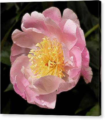 Show Girl Peony Canvas Print by Don Spenner