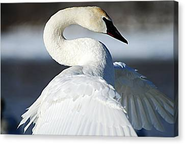Showing Off Canvas Print by Larry Ricker