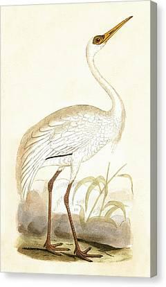 Siberian Crane Canvas Print by English School