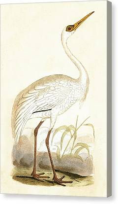 Siberian Crane Canvas Print by English School
