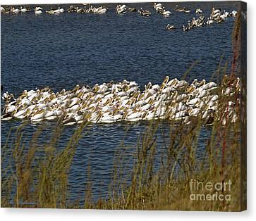 Signs Of Autumn The Pelicans 02 Canvas Print by Arik Baltinester