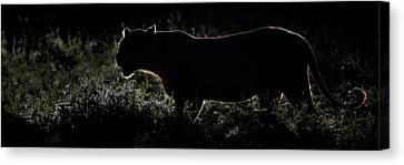 Silhouette Of African Lion Panthera Canvas Print by Panoramic Images