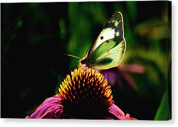 Silky Wings Canvas Print by Lyle  Huisken