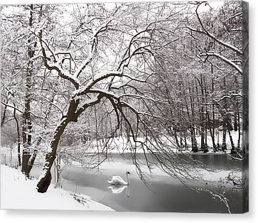 Silver Swan Canvas Print by Jessica Jenney