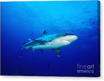 Silvertip Shark In Thailand Canvas Print by Dave Fleetham - Printscapes