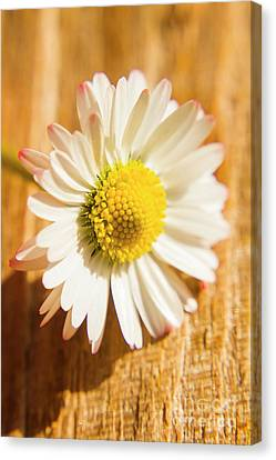 Simple Camomile  In Sunlight Canvas Print by Jorgo Photography - Wall Art Gallery