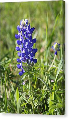 Single Texas Blue Bonnet Canvas Print by Linda Phelps